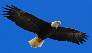 Bald_Eagle_Stock_by_Crystalsm.jpg